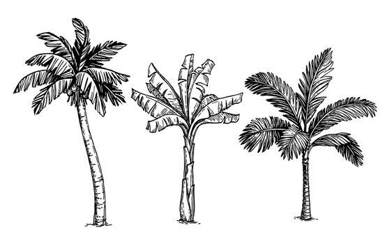 Ink sketch of palm trees.