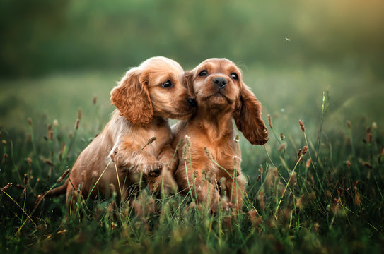 american cocker spaniel red puppy very cute eyes beautiful portrait at sunset