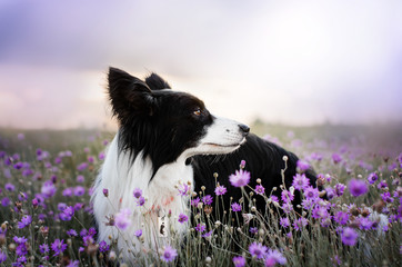 border collie dog cute funny portrait at sunset in lilac colors magical lights