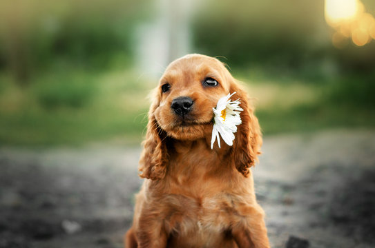 american cocker spaniel red puppy very cute eyes portrait with flowers