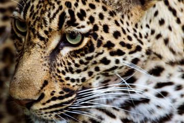 Printed kitchen splashbacks Panther Leopard