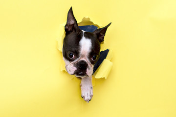 The head of the dog breed Boston Terrier peeking through the hole in yellow paper. Wall mural