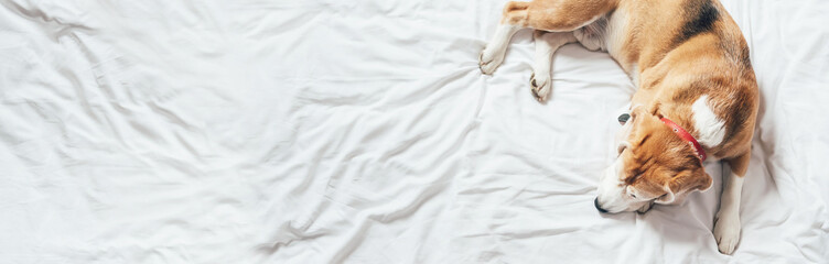 Beagle dog sleeps on the clear white bed