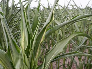Fotoväggar - Klimawandel - Landwirtschaft - Mais zeigt Wassermangel - Trockenschäden