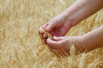 Female busy hands hold ears of rye wheat on an agricultural field, a symbol of the country