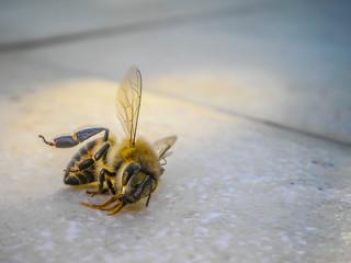 Macro of a Dead Bee
