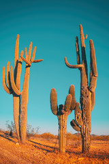 Photo on textile frame Cactus Desert saguaro cactus - family quite funny cactus tree
