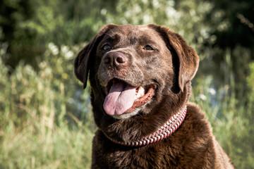 Labrador Retriever Hündin In der Farbe Schokolade