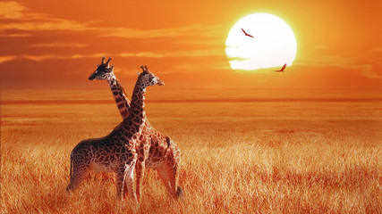 Wall Murals Giraffe Group of giraffe at sunset in the Serengeti National Park. Tanzania. Wild nature of Africa. African artistic landscape.