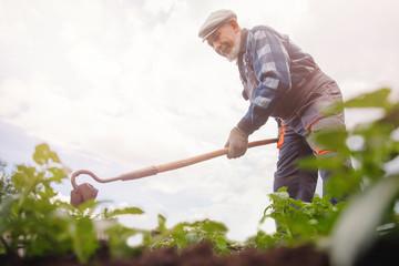 Removing weeds from soil of potatoes, Senior elderly man wielding hoe in vegetable garden