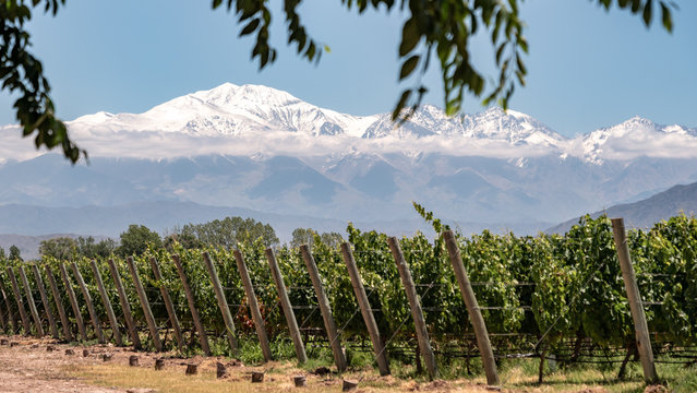 Vineyard with snow mountain