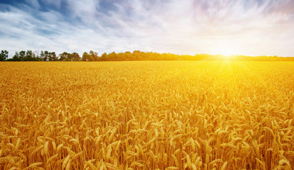 Wall Mural - Golden wheat field with blue sky