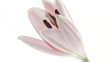 Fotoväggar - Lily. Beautiful pink Lily flower bud opening over white background. Time lapse of pink Lilly blooming closeup. 4K UHD video footage. 3840X2160
