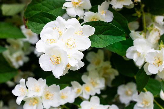 White flowers of jasmine with green leaves, Three in focus. Spring and summer background or wallpaper for gardening, plants and hobby. Horizontal