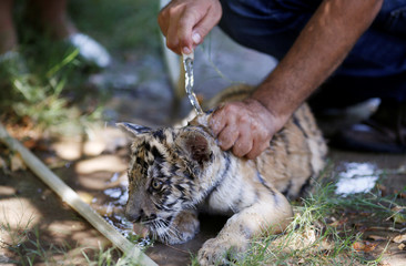 A Siberian tiger cub is bathed so it can cool down at Al Zawra zoo in Baghdad