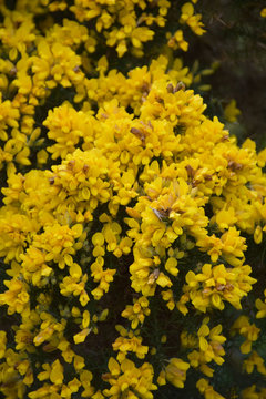 Stunning Budding and Blooming Yellow Gorse Bush in England