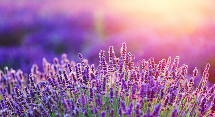 Keuken foto achterwand Lavendel Levender flowers on the field at sunset.