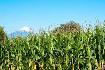 Corn crops at the shores of Lake LLanquihue with Osorno Volcano in the back, X Region de Los Lagos, Chile