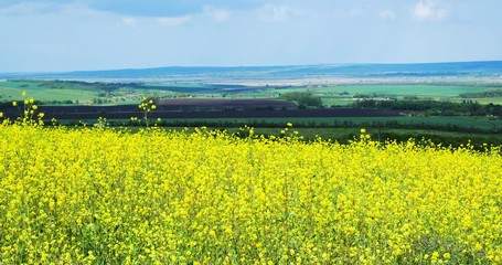 Wall Mural - Beautiful field of bright yellow flowers. Summer landscape.