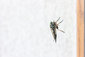 Robber fly perching on window eating small fly Wall mural