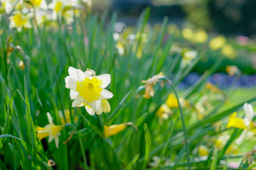 Photo on textile frame Narcissus Amazingly beautiful Yellow Daffodils or narcis flowers, Narcissus Pseudonarcissus, in a field in the morning sunlight, depicting a spring background, flower landscape.