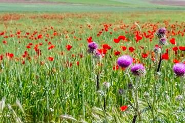 Red poppy flowers in the field