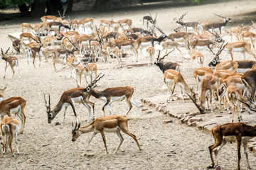 Photo sur Aluminium Antilope Beautiful wild animal Blackbuck deer (Antilope cervicapra) or Indian antelope in Lal Suhanra National Park Safari Park, Bahawalpur, Pakistan