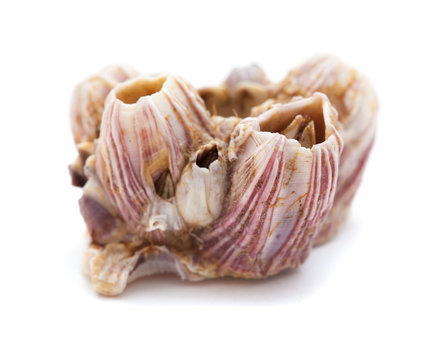 dry barnacles shells