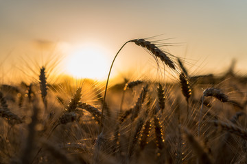 Ears of wheat on a field in a sunset rays.