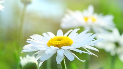 Fotoväggar - Chamomile flowers with rain drops closeup, Daisy flowers. Beautiful nature scene with blooming medical chamomilles. Slow motion. 3840X2160 4K UHD video footage