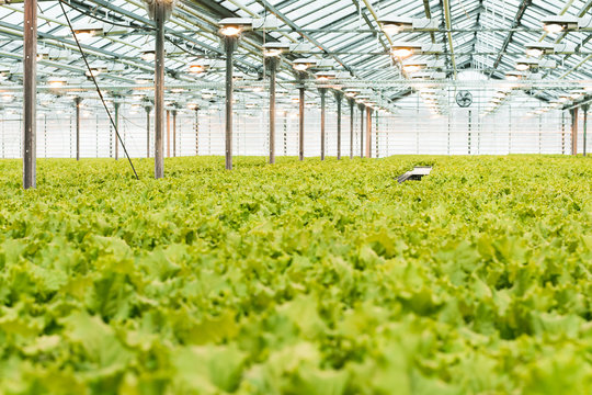 Industrial production of lettuce and greens. Closed light large greenhouse