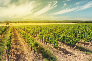 Wall Murals Vineyard Landscape of vineyard