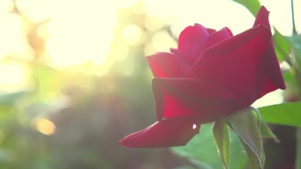 Fotoväggar - Red rose flower. Beautiful Rose blooming growing in summer garden. Slow motion. 3840X2160 4K UHD video footage