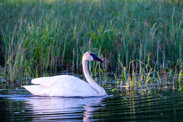 In de dag Zwaan trumpeter swan in small pond, low light with ripples reflecting in water.