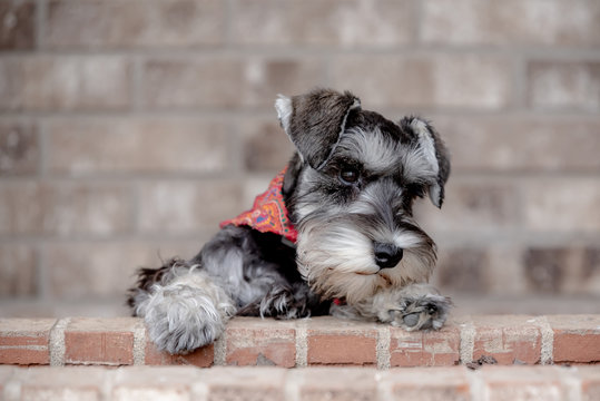 portrait of miniature schnauzer pup on brick ledge, brick background at outdoor cafe.  A sweet face with folded over ears and red bandana.