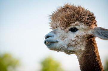 Foto op Plexiglas Lama portrait of a alpaca, isolated face. cute funny expression