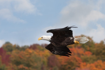 Eagle Glides Above Autumn Treetops