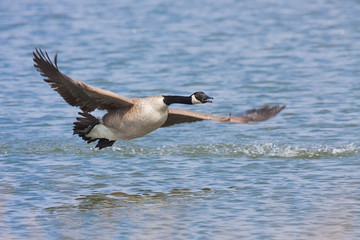 Canada Goose Takeoff