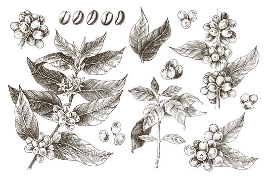 Hand drawn set of coffee tree branches and beans