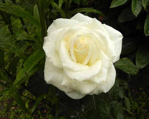 Beautiful flower of white rose in the garden.