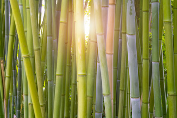 Bamboo, Bambusoideae, forest close-up with light flare or burst shining through the stems. Plant...