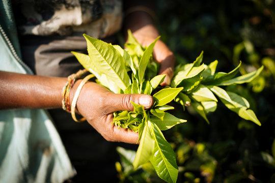 Tamil Woman Tea Picker in a Tea Plantation in the Highlands, Nuwara Eliya, Central Province, Sri Lanka