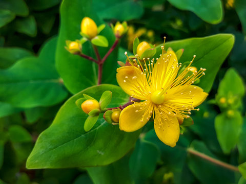 Yellow flowering perforate St Johns wort (Hypericum perforatum) with green leaves in background, close up