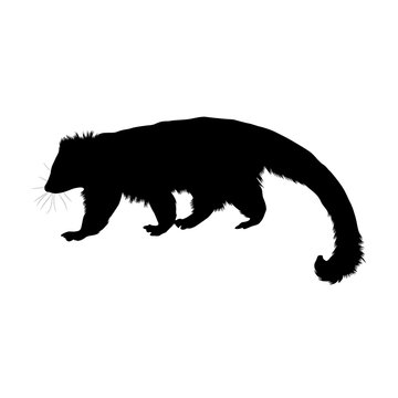 Binturonng, Arctictis Binturong, Silhouette, South And East Asia
