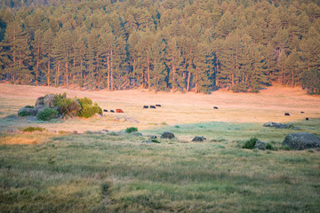 Cattle graze in the dusk light in a mountain meadow along the trail in the Laguna Mountains, San Diego, California