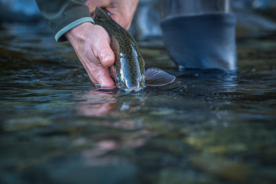 Brown & Rainbow trout gently released