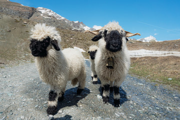 Tuinposter Schapen Valais Blacknose sheep on highland in Zermatt, Switzerland