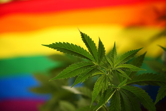 Cannabis plant against the background of the LGBT flag.