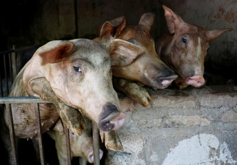 Pigs are seen at a farm outside Hanoi