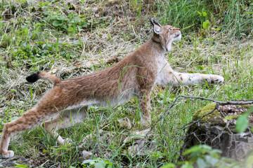 Wall Mural - European lynx looking for prey